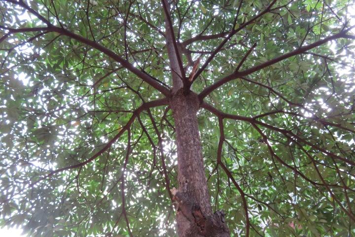 deccan-tree-walk-1-14